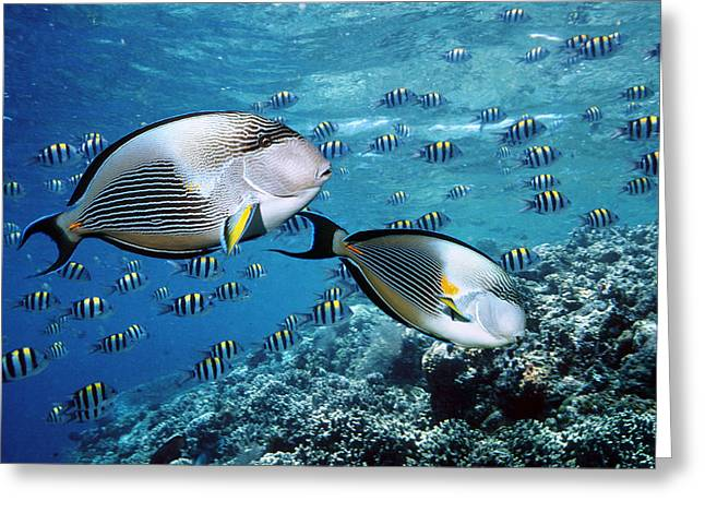Surgeonfish Greeting Cards - Sohal Surgeonfish Greeting Card by Georgette Douwma