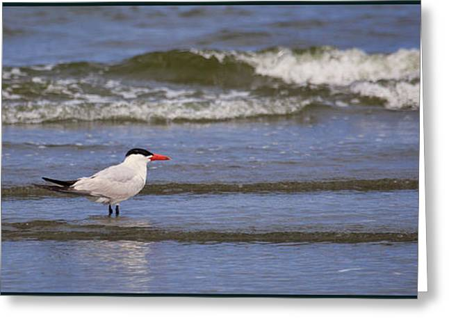 Tern Greeting Cards - Solo Greeting Card by Karen Ulvestad