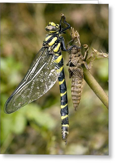 Gold Ring Greeting Cards - Sombre Goldenring Dragonfly Metamorphosis Greeting Card by Bob Gibbons