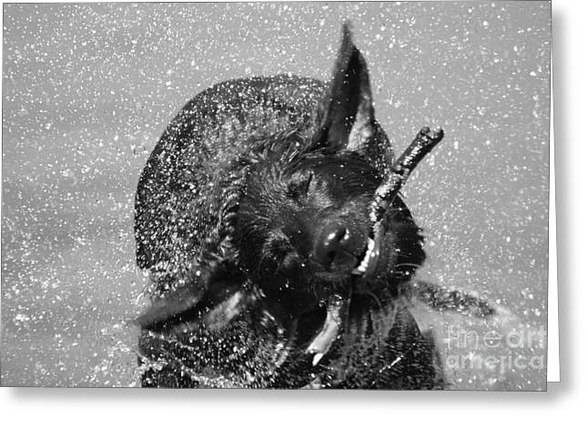 Swimming Dog Greeting Cards - Sometimes You Just Gotta Shake  Greeting Card by Cathy  Beharriell
