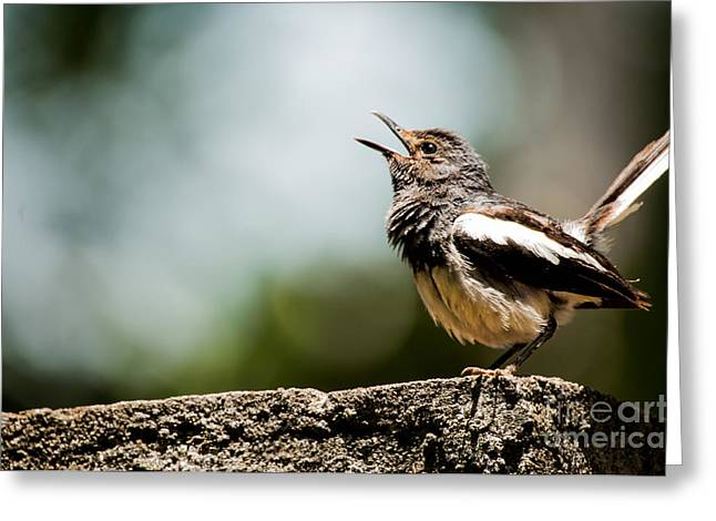 Photos Of Birds Greeting Cards - Song of Nature Greeting Card by Venura Herath