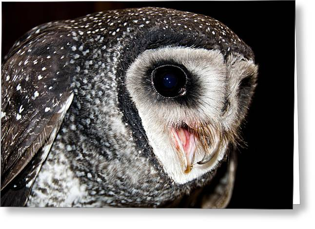Hunt Pyrography Greeting Cards - Sooty Owl  Tyto tenebricosa Greeting Card by Imagevixen Photography