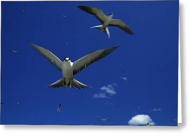 Tern Greeting Cards - Sooty Terns In Flight In A Blue Sky Greeting Card by Tim Laman