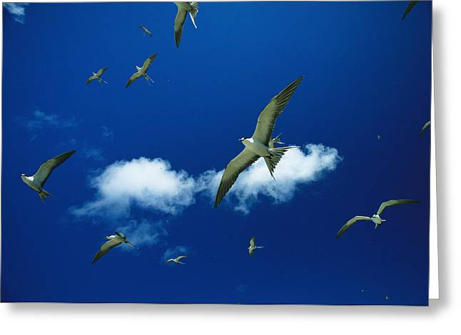 Sooty Terns In Flight Greeting Card by Tim Laman