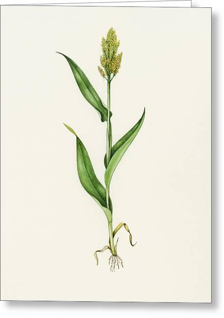 Sorghum (sorghum Bicolor), Artwork Greeting Card by Lizzie Harper