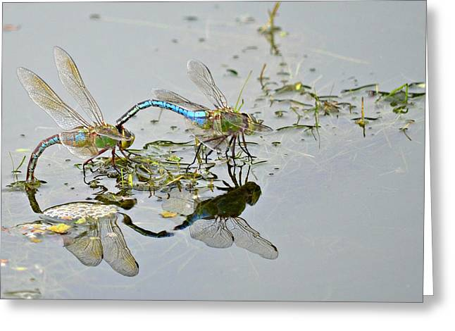 Green Darner Dragonflies Greeting Cards - Soul Mates Greeting Card by Fraida Gutovich