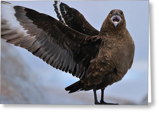 Aggressive Postures Greeting Cards - South Polar Skua Greeting Card by Tony Beck