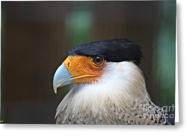 Birds Pyrography Greeting Cards - Southern Caracara  Greeting Card by D R Moore