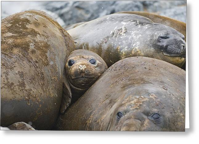 Elephant Seals Greeting Cards - Southern Elephant Seal Group Antarctica Greeting Card by Flip Nicklin
