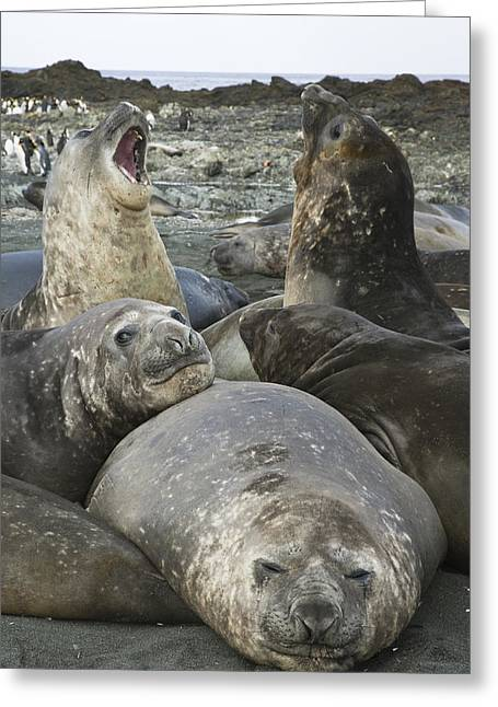 Elephant Seals Greeting Cards - Southern Elephant Seal Juveniles Greeting Card by Colin Monteath