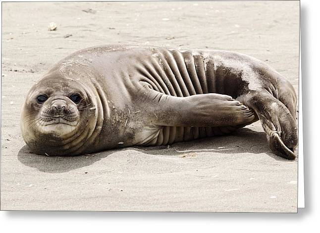Elephant Seals Greeting Cards - Southern Elephant Seal Pup Greeting Card by Charlotte Main