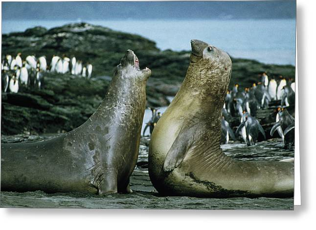 Aquatic Display Greeting Cards - Southern Elephant Seals Greeting Card by Peter Scoones