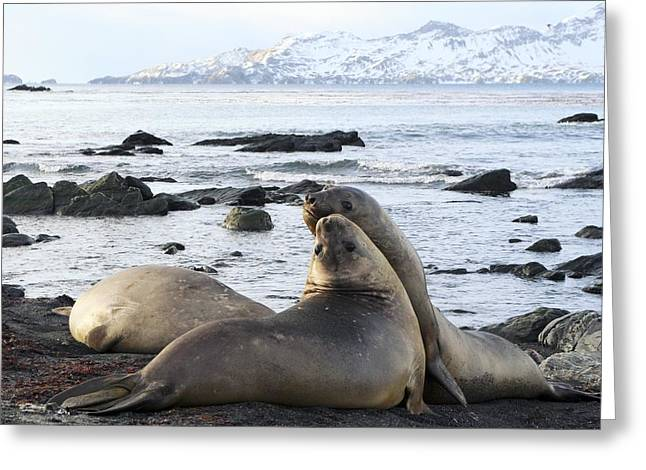 Elephant Seals Greeting Cards - Southern Elephant Seals Sparring Greeting Card by Charlotte Main