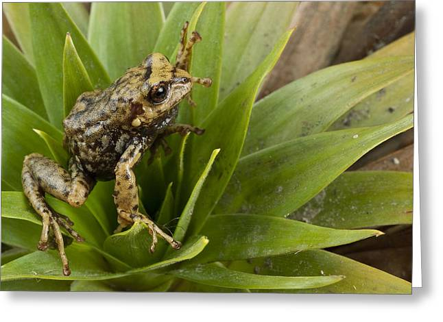 Bromeliad Greeting Cards - Southern Frog Newly Discovered Species Ecuador Greeting Card by Pete Oxford