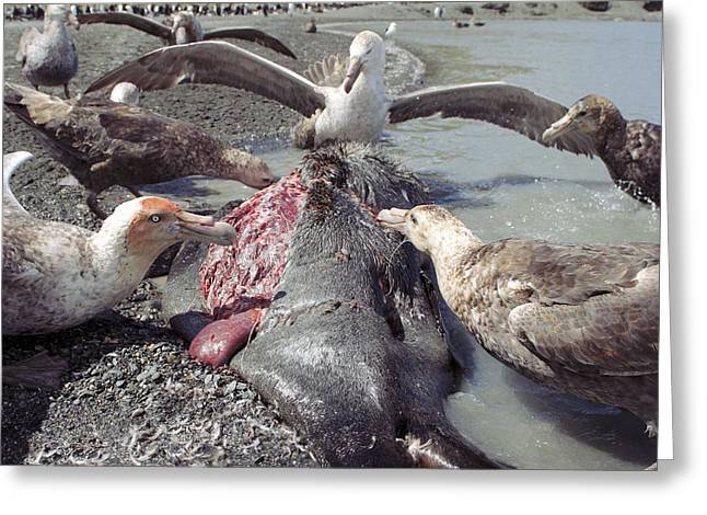 Aquatic Display Greeting Cards - Southern Giant Petrels Scavenging Greeting Card by Charlotte Main
