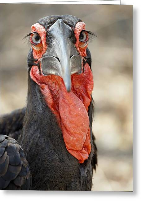 Eyelash Greeting Cards - Southern Ground Hornbill Greeting Card by Peter Chadwick