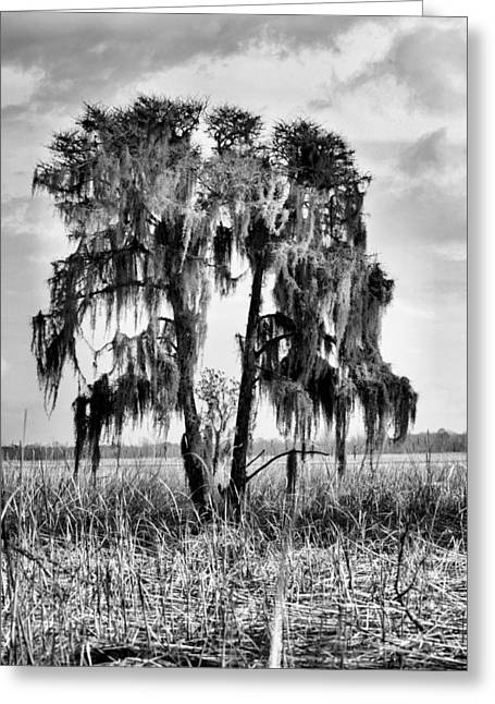 Cape Lily Greeting Cards - Southern in Black and White Greeting Card by JC Findley