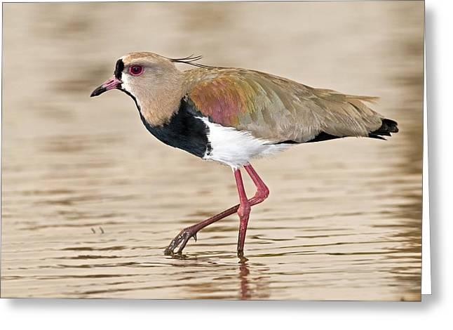 Lapwing Greeting Cards - Southern Lapwing Greeting Card by Tony Camacho