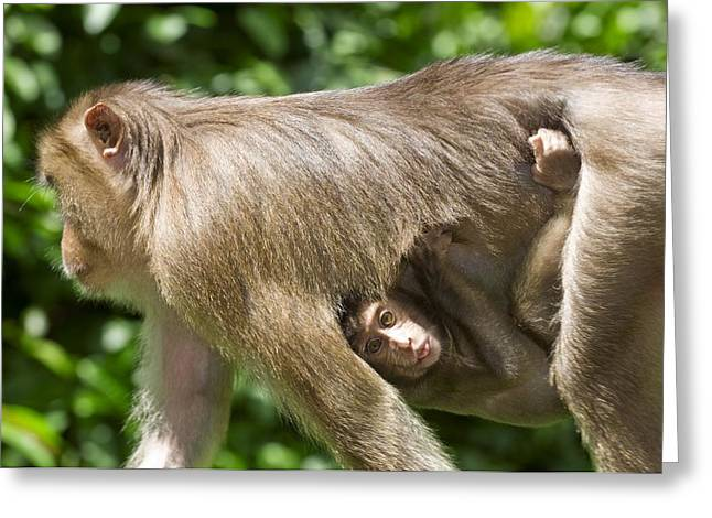 Southern Pig-tailed Macaque And Young Greeting Card by Tony Camacho
