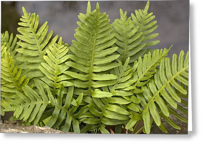 Epiphytic Greeting Cards - Southern Polypody (polypodium Australe) Greeting Card by Bob Gibbons