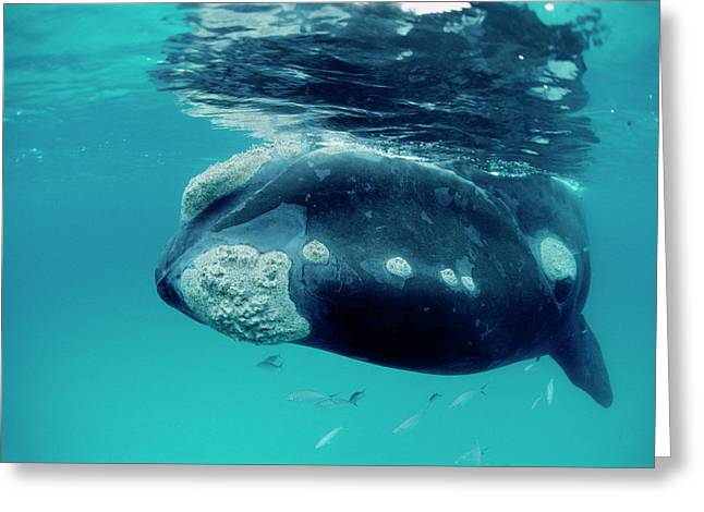 Southern Right Whale Eubalaena Greeting Card by Mike Parry
