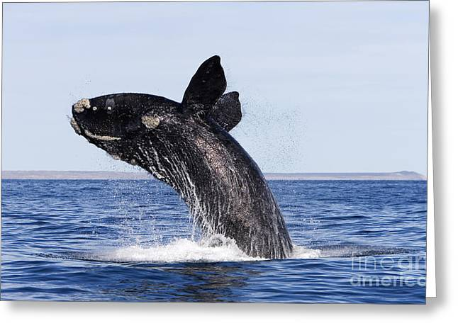 Southern Province Greeting Cards - Southern Right Whale Greeting Card by Francois Gohier and Photo Researchers