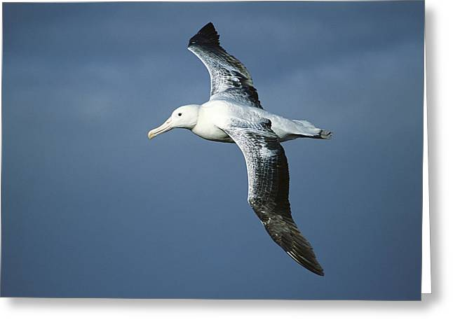 Southern Royal Albatross Diomedea Greeting Card by Tui De Roy