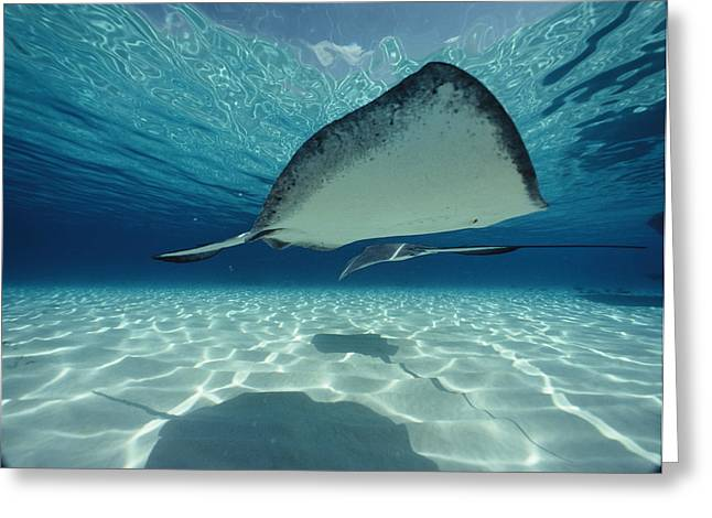 Southern Stingrays Greeting Cards - Southern Stingray Dasyatis Americana Greeting Card by Bill Curtsinger