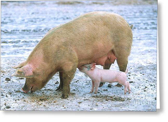 Piglets Greeting Cards - Sow With Piglet Greeting Card by Science Source