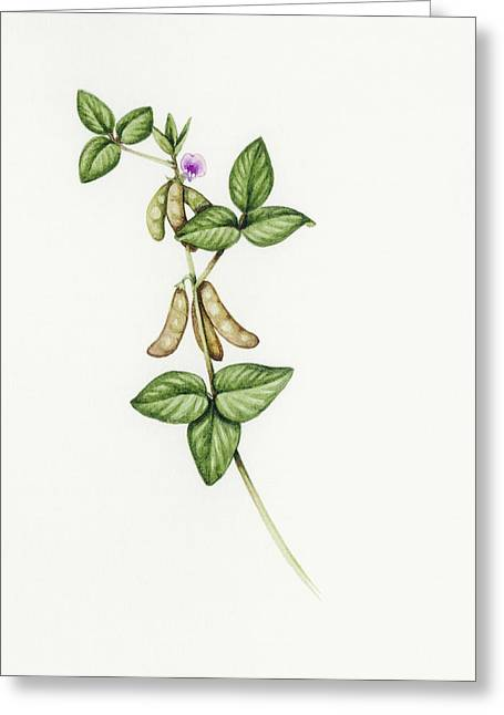Soybean Greeting Cards - Soybean (glycine Max) Greeting Card by Lizzie Harper