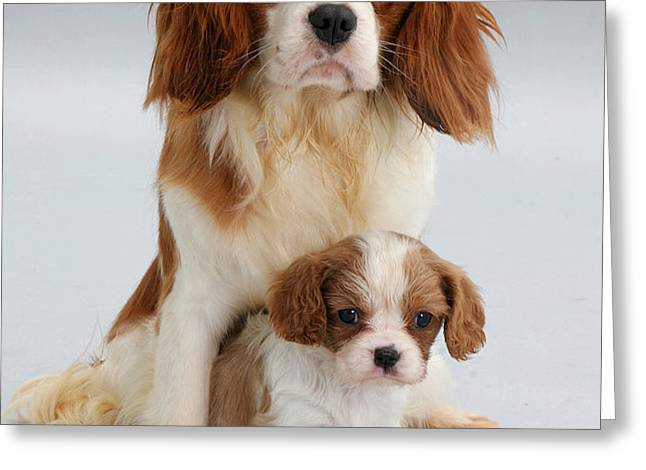 Spaniels Greeting Card by Jane Burton