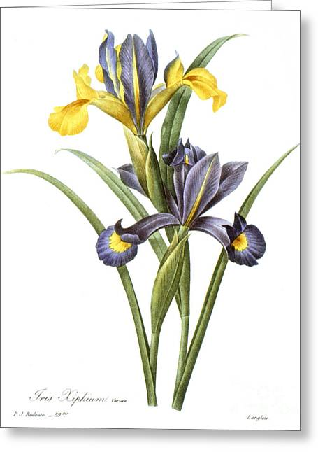 1833 Greeting Cards - Spanish Iris Greeting Card by Granger