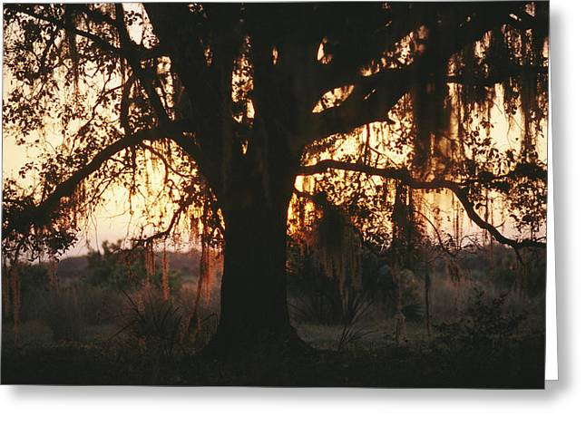 Spanish Moss Draped, Silhouetted Oak Greeting Card by Raymond Gehman
