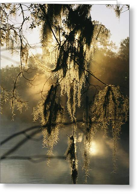 Epiphyte Greeting Cards - Spanish Moss Hanging From A Tree Branch Greeting Card by Medford Taylor