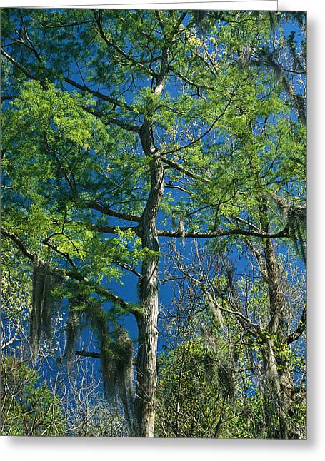 Spanish Moss Hangs From The Branches Greeting Card by Raymond Gehman