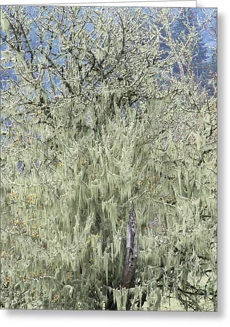 Epiphyte Greeting Cards - Spanish Moss (tillandsia Usneoides) Greeting Card by Alan Sirulnikoff