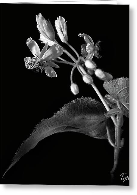 Flower Photos Greeting Cards - Sparmannia Africanus in Black and White Greeting Card by Endre Balogh