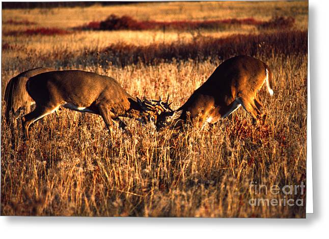 Sparring Greeting Cards - Sparring Bucks Greeting Card by Thomas R Fletcher