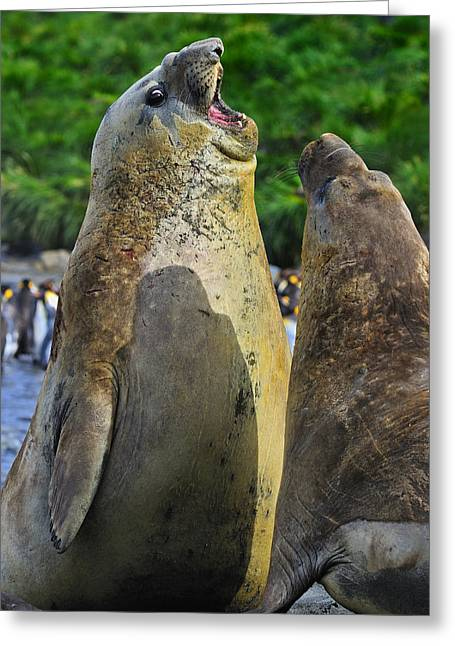 Elephant Seals Greeting Cards - Sparring Greeting Card by Tony Beck