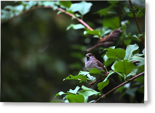 Birds On A Branch Greeting Cards - Sparrow Bush Greeting Card by Karol  Livote