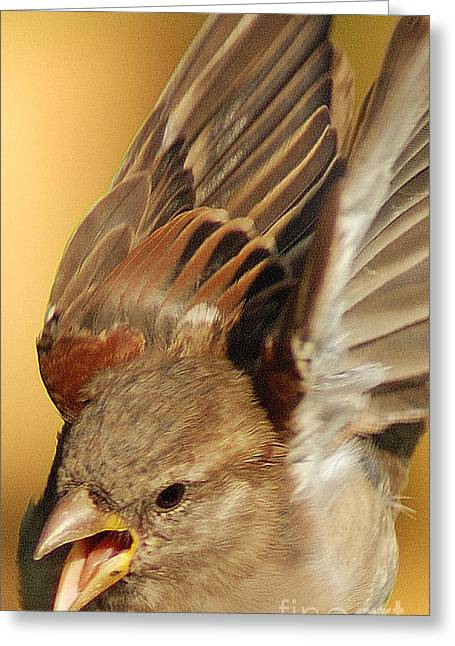 Sparrow Greeting Cards - Sparrow in flight Greeting Card by Jim Wright