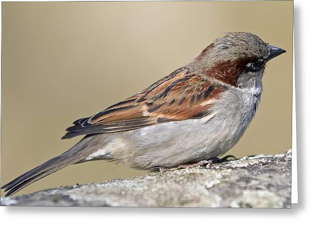 Back Bird Greeting Cards - Sparrow Greeting Card by Melanie Viola