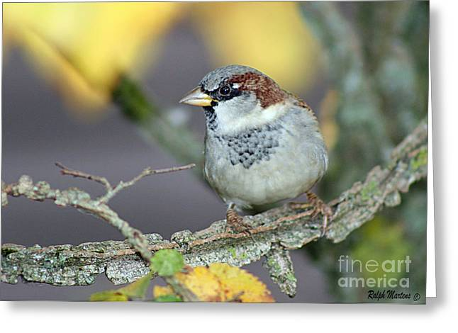 Sparrow on a branch Greeting Card by Ralph Martens
