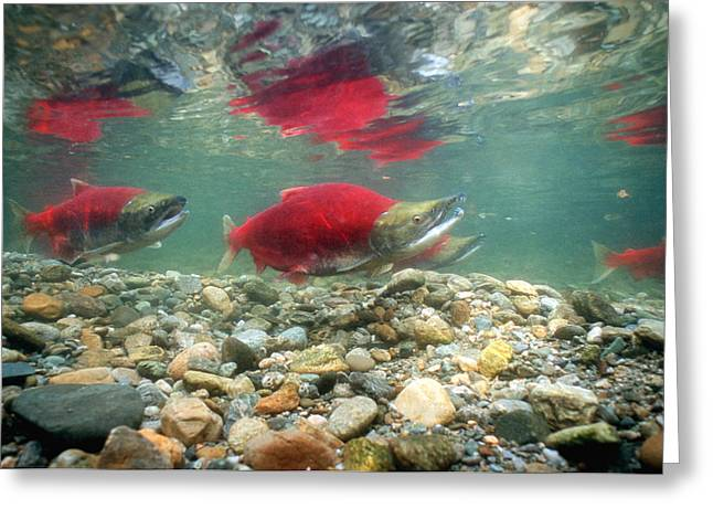 Salmonid Greeting Cards - Spawning Sockeye Salmon Greeting Card by Peter Scoones