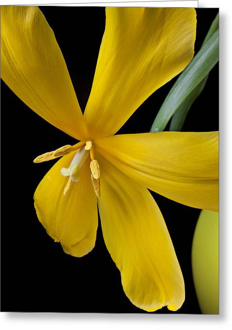 Spend Greeting Cards - Spent tulip Greeting Card by Garry Gay