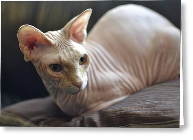 Sphynx Cat Greeting Cards - Sphynx At Rest Greeting Card by Fraida Gutovich