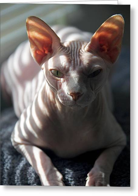 Sphynx Cat Portrait Greeting Cards - Sphynx Cat Greeting Card by Glennis Siverson