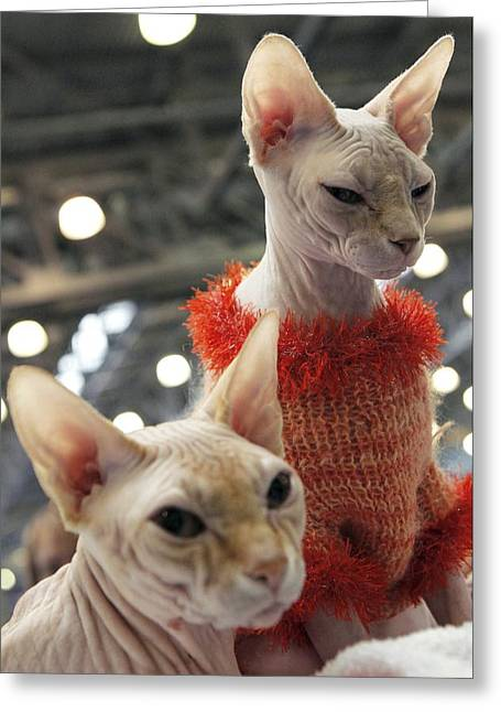 Cats Show Greeting Cards - Sphynx Cats Greeting Card by Ria Novosti