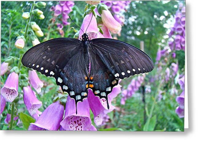 Mother Nature Greeting Cards - Spicebush Swallowtail Butterfly on Foxgloves - Papilio troilus Greeting Card by Mother Nature