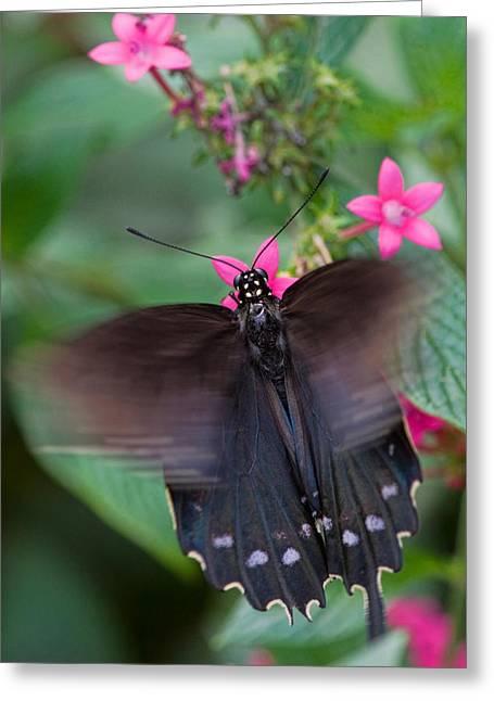Spicebush Swallowtail Greeting Card by Joann Vitali